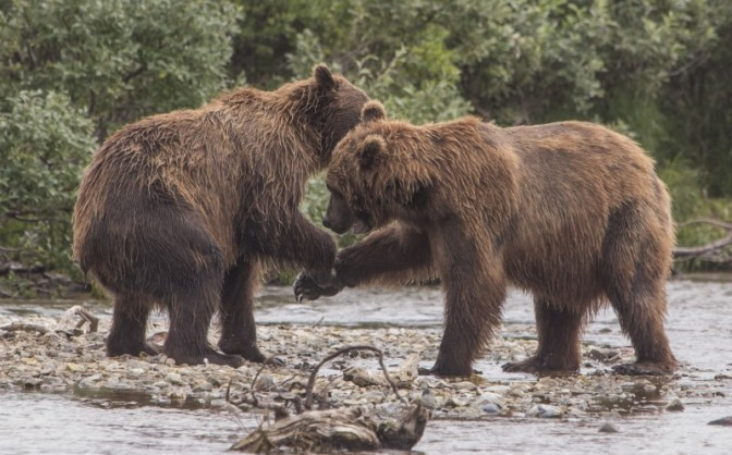 grizzly low five